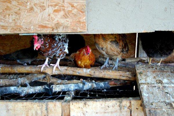 Chickenfeet